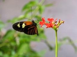 Obligatory lepidopteran